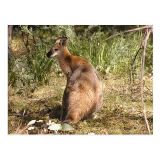 Carte Postale Wallaby