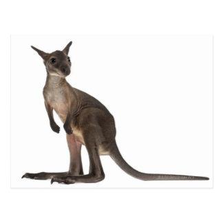 Carte Postale Wallaby - robustus de Macropus (3 mois)
