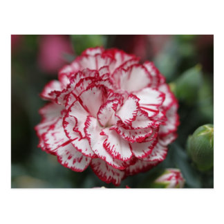 Carte Postale White and red flower
