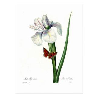 Carte Postale Xipheum d'iris