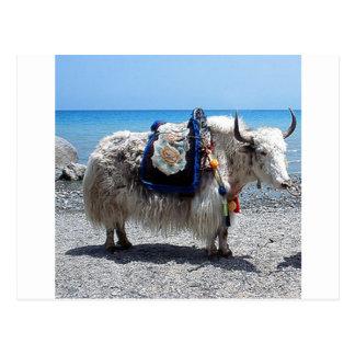 Carte Postale Yaks hirsute portant la pointe brillamment colorée