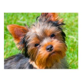 Carte Postale Yorkshire Terrier recherchant