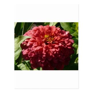 Carte Postale zinnia rouge