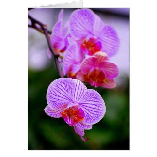 Carte rayée pourpre d'orchidée de Phalaenopsis