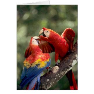 Cartes Amazone, Brésil. Paires d'aras d'écarlate (arums
