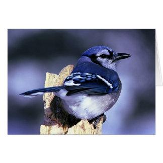 Cartes Bel oiseau de geai bleu