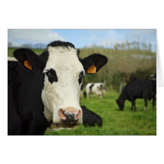 Cartes Bétail du Holstein