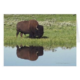 Cartes Bison (bison de bison) sur le pré herbeux
