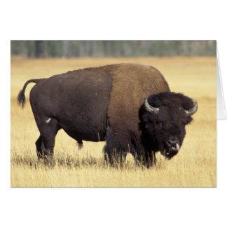 Cartes bison, bison de bison, taureau dans le