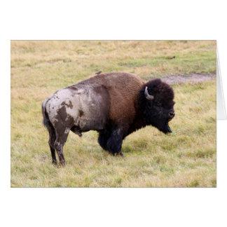 Cartes Bison poussiéreux Taureau en parc national de