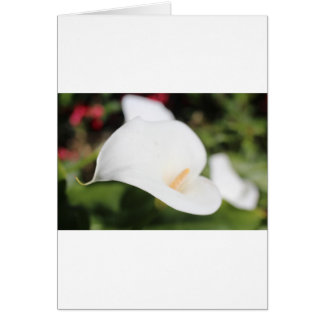 Cartes Calla Lilly Romance