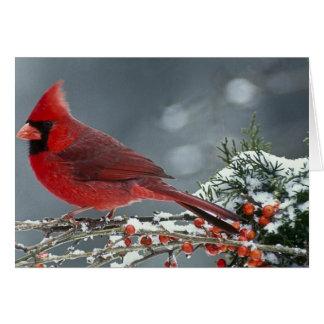 Cartes Cardinal rouge sur la branche glaciale du houx