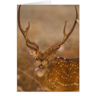 Cartes Chital ou Cheetal, cerf commun repéré, pâturage