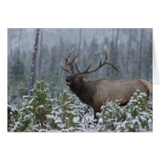 Cartes Élans de Taureau dans appeler de neige, bugling,