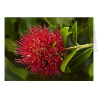 Cartes Fleur de Pohutukawa, Dunedin
