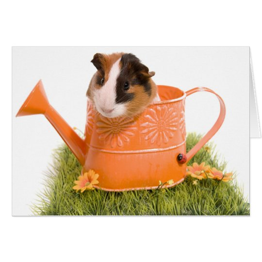 Cartes guinea pigs on a lawn