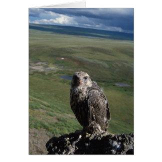 Cartes gyrfalcon, rusticolus de Falco, obtention juvénile