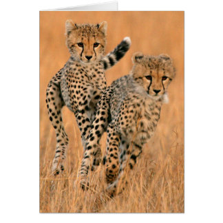 Cartes Jeune fonctionnement de guépards (Acinonyx