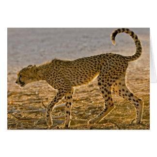 Cartes Jeunes tiges de guépard (Acinonyx Jubatus)