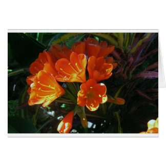 Cartes Kafir orange brillant Lillies