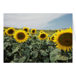 Cartes La France Provence, vue de gisement de tournesols