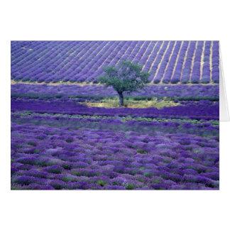 Cartes La lavande met en place, Vence, Provence, France