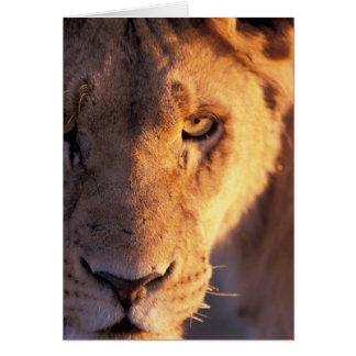 Cartes L'Afrique, Botswana, delta d'Okavango. Fin de lion