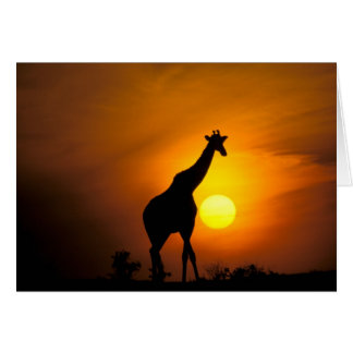 Cartes L'Afrique, Kenya, masai Mara. Girafe (girafe