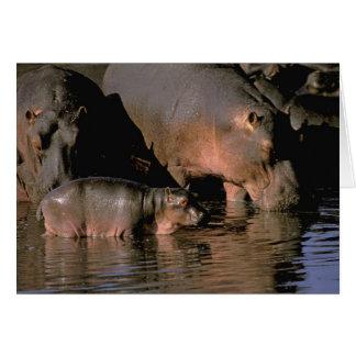 Cartes L'Afrique, Kenya, masai Mara. Hippopotames communs