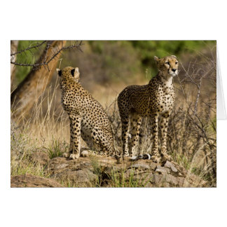 Cartes L'Afrique. Le Kenya. Guépards chez Samburu NP