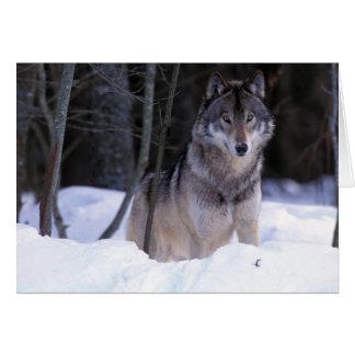 Cartes L'Amérique du Nord, Canada, Canada oriental, loup