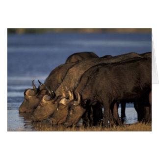 Cartes Le Botswana, parc national de Chobe, Buffalo de