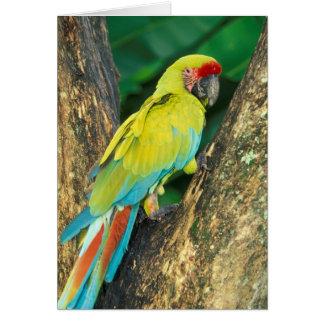 Cartes Le Costa Rica, arums Ambigua, grand Macaw. vert