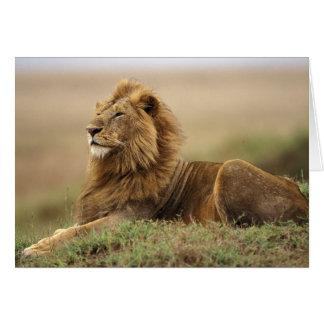Cartes Le Kenya, masai Mara. Lion de mâle adulte sur le