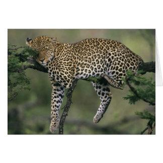 Cartes Léopard, (pardus de Panthera), le Kenya, masai