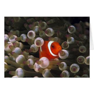 Cartes L'Indonésie, Komodo. Clownfish marron, ou