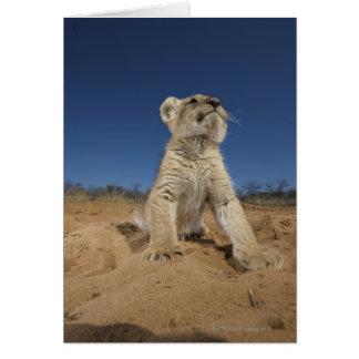 Cartes Lion CUB (Panthera Lion) se reposant sur le sable,