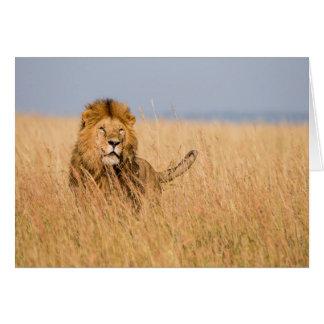 Cartes Lion masculin caché dans l'herbe