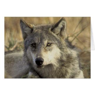 Cartes Loup gris magnifique