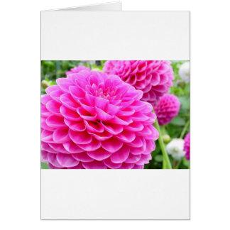 Cartes Magenta de rose de dahlia de la fleur 51A