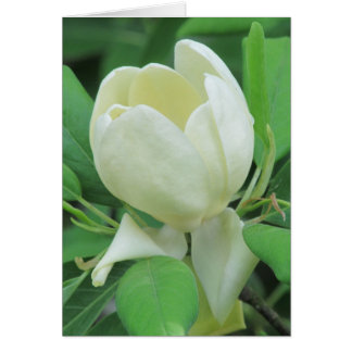 Cartes Magnolia de Sweetbay