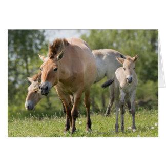 Cartes Marche du cheval et du poulain de Przewalski