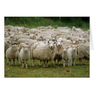 Cartes Moutons curieux