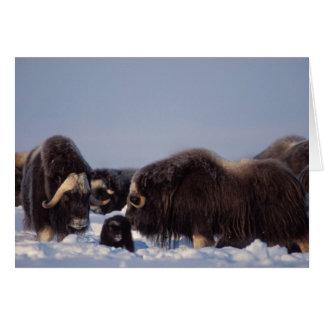 Cartes muskox, moschatus d'Ovibos, taureau et vache avec