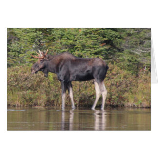 Cartes Orignaux du Maine Taureau