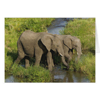Cartes Paires d'éléphants africains alimentant, masais