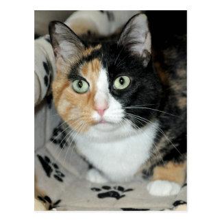 Cartes postales de chat d'abri de calicot de