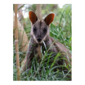Cartes postales de wallaby de roche