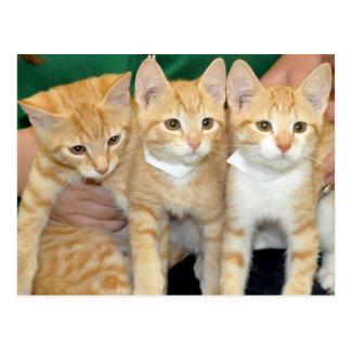 Cartes postales tigrées oranges de chatons de