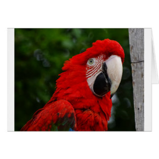 Cartes Red Macaw